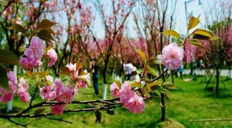 【青白江凤凰湖樱花节】成都青白江凤凰湖樱花节门票