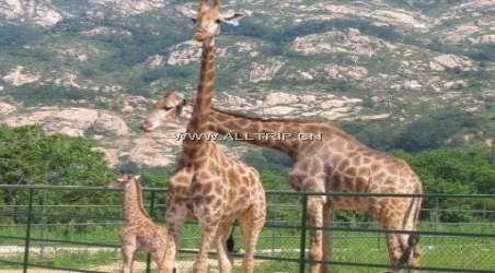 青岛森林野生动物园位于青岛市黄岛区小