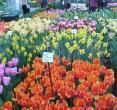 (荷兰阿姆斯特丹)郁金香花园