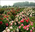 (陕西铜川)牡丹园